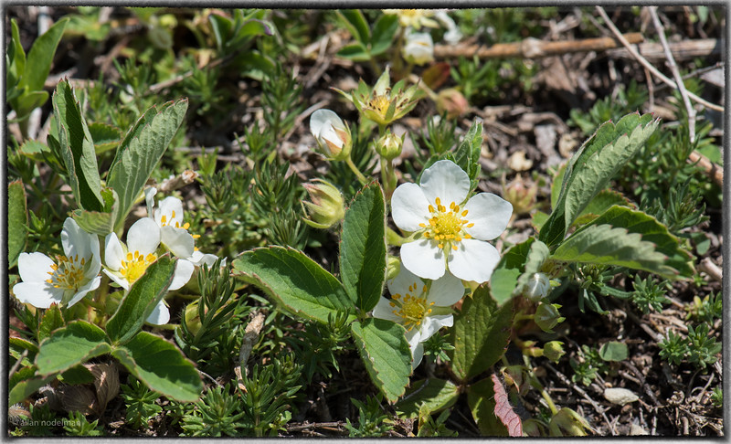 Wild Strawberry Blossoms at Morris Island Conservation Area