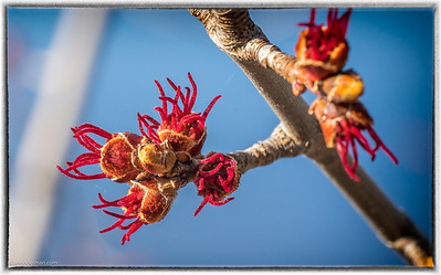 Buds on Our Maple Tree