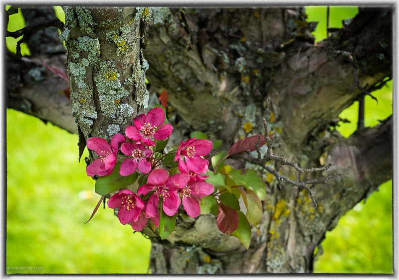 Apple Blossoms on Gnarly Tree Trunk