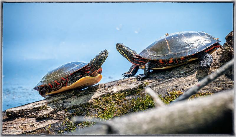 Turtles at Mud Lake in Ottawa