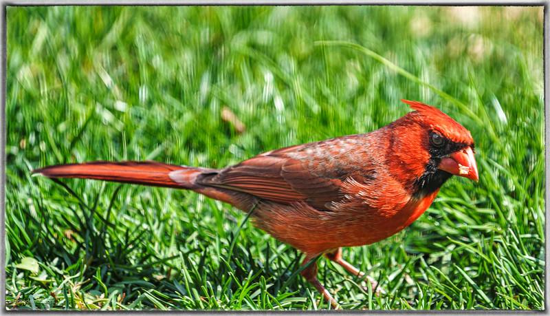 Cardinal in Backyard