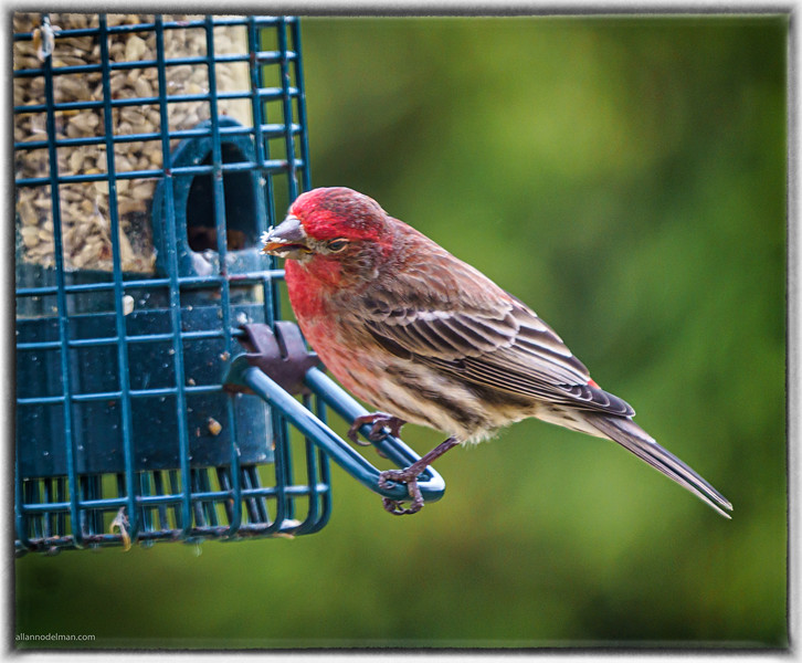 Red House Finch at Feeder