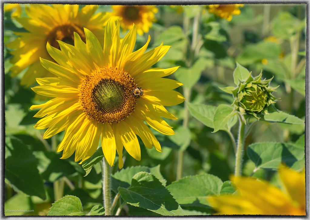 Sunflower at Ottawa's Central Experimental Farm