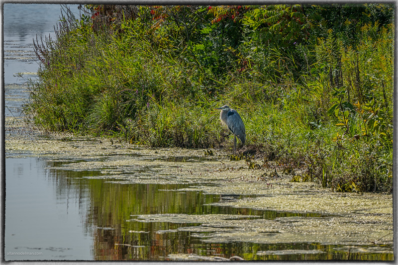 Blue Heron at Beaver Pond in Kanata
