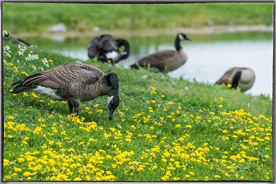 Canada Geese in Andrew Hayden Park Ottawa