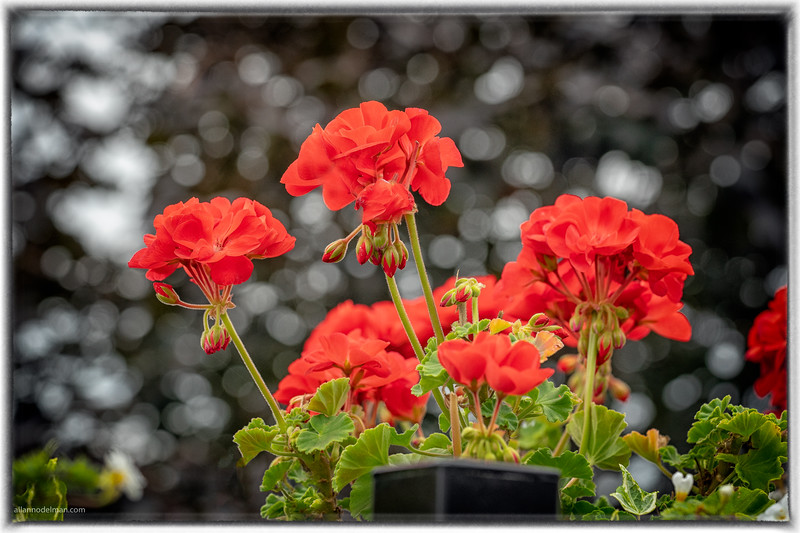 Geraniums on the Deck