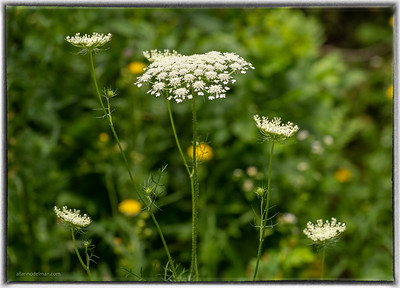 Queens Anne's Lace
