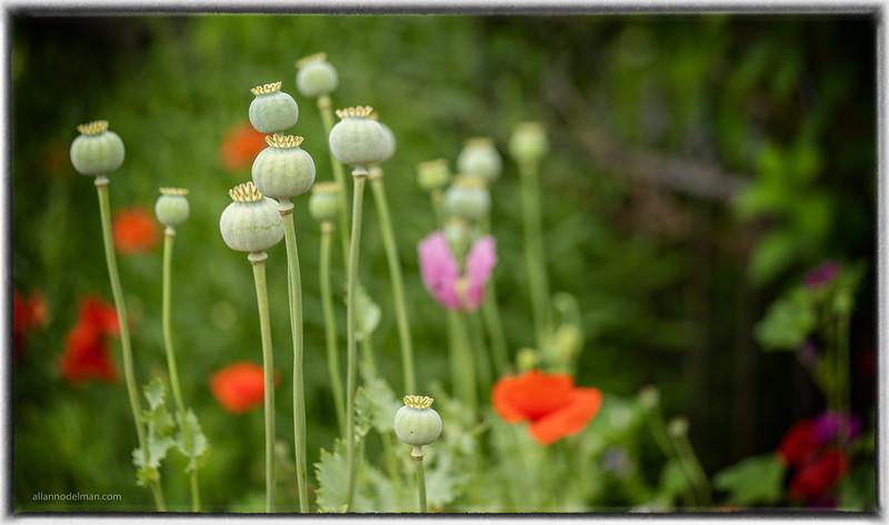 Carp Poppies