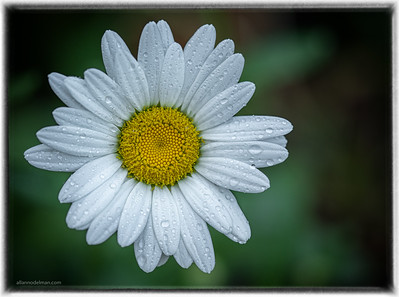 Daisy From Our Garden