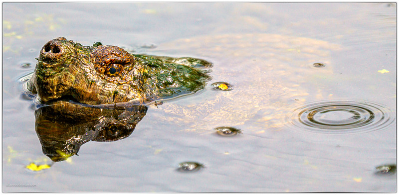 Snapping Turtle at Mud Lake