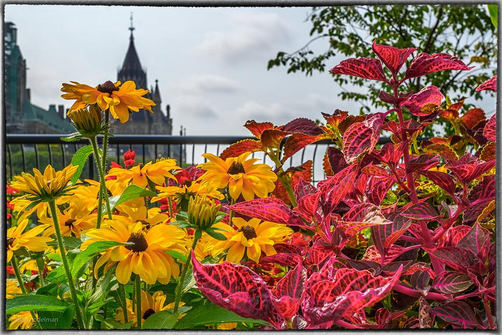 Flowers in Major's Hill Park