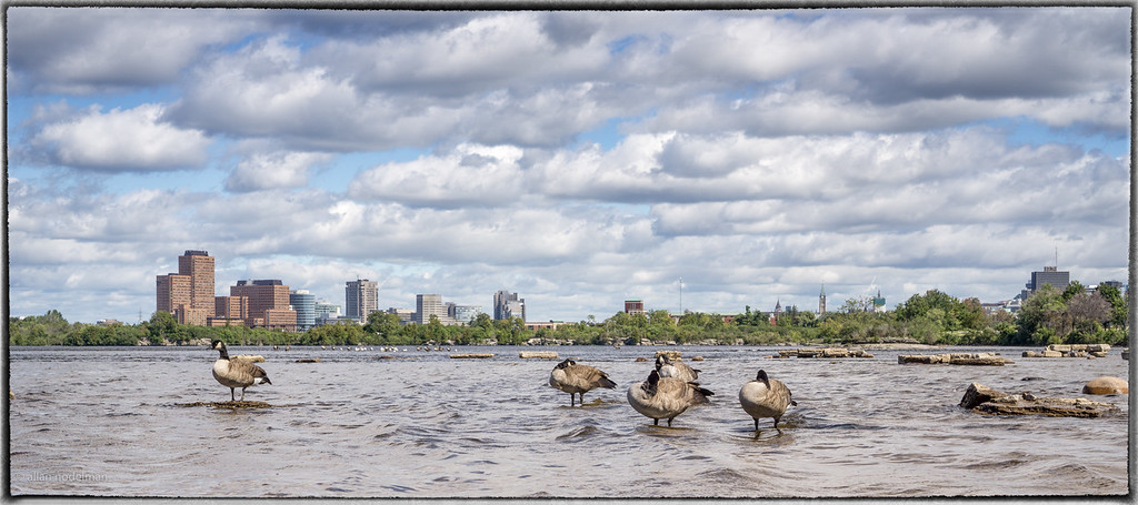 Canada Geese Resting at Remic Rapids