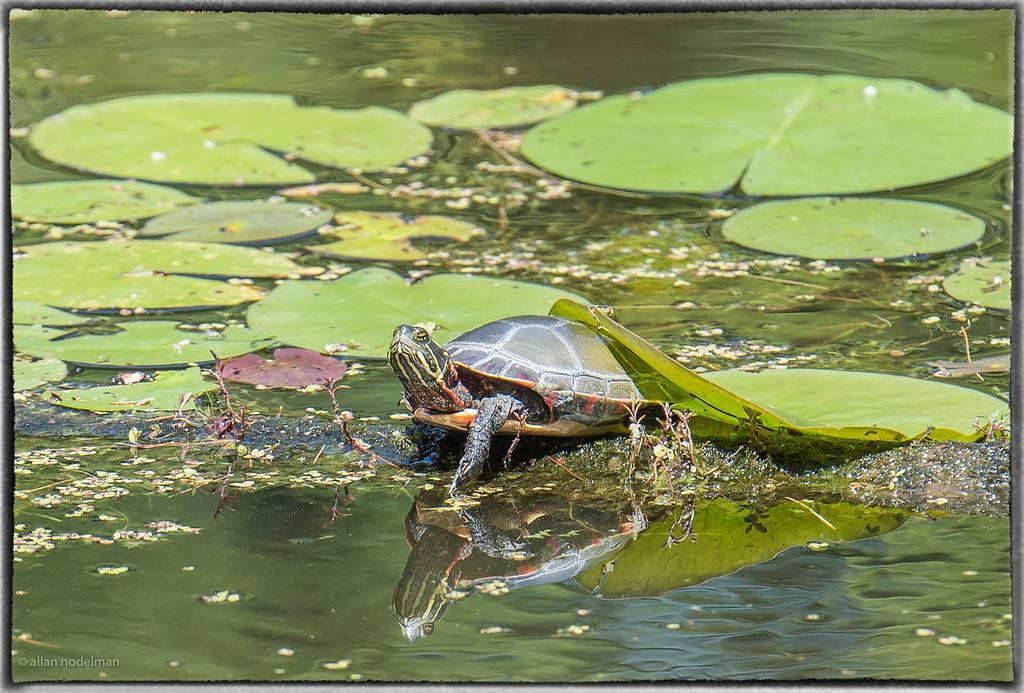 Blanding's Turtle at Mud Lake