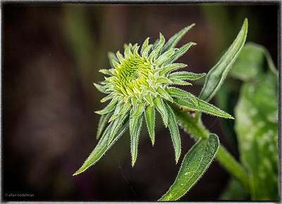 Young Cone Flower in Our Garden