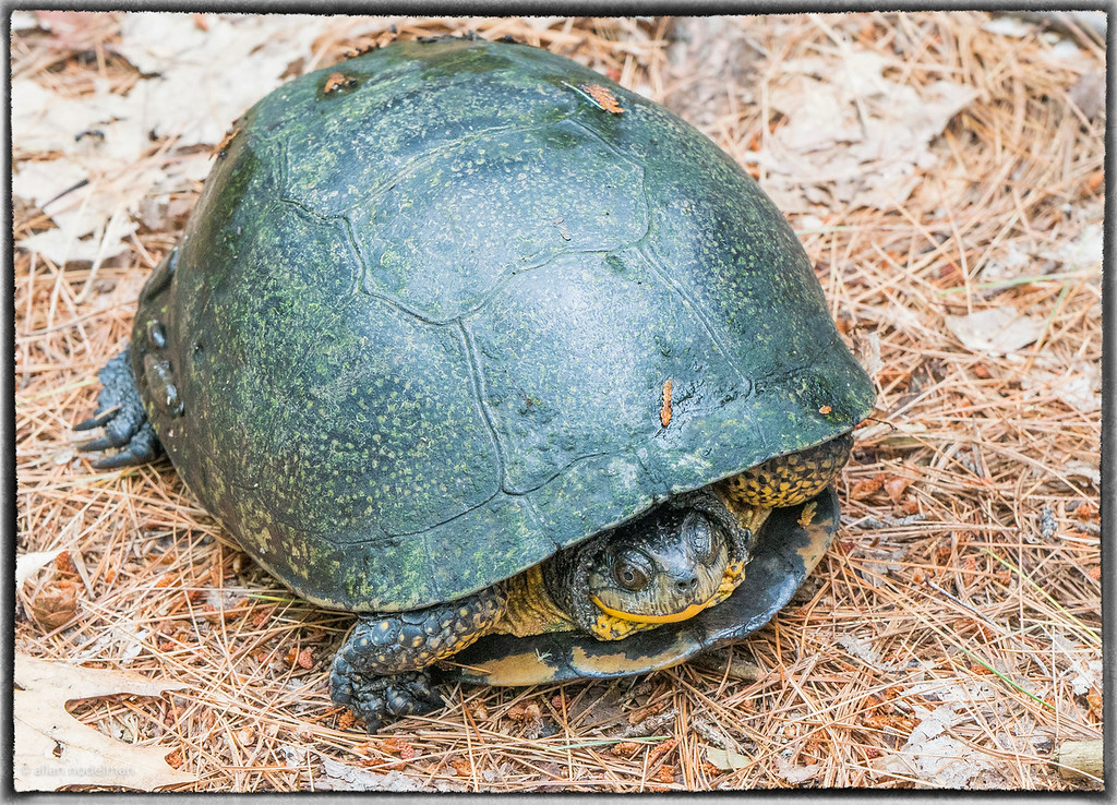Turtle at Morris Island Conservation