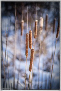 Bullrushes on Cross Canada Trail