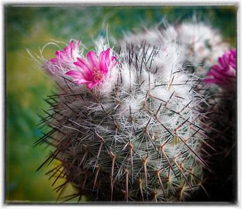 Jessie's Cactus in Bloom