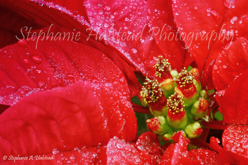 Poinsettia in the Rain