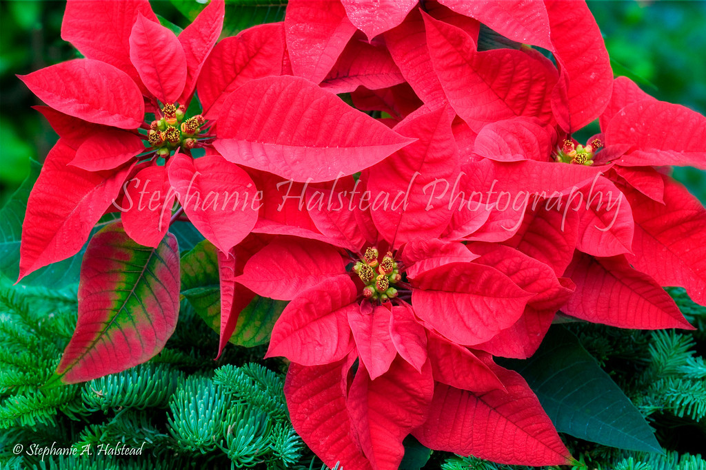 Poinsettias for Christmas