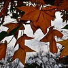 December 4, 2014<br /> <br /> AUTUMN LEAVES