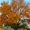"November 13, 2014<br /> <br /> ""Delicious autumn! My very soul is wedded to it, and if I were a bird I would fly about the earth seeking the successive autumns."" ~ George Eliot<br /> <br /> This is the same tree that was photographed the same day, at the same general locale, as the previous photo.<br /> <br /> My Homepage:  <a href=""http://www.smugmug.Godschild.com"">http://www.smugmug.Godschild.com</a>"