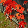 November 14, 2014<br /> <br /> MAPLE LEAVES<br /> <br /> Church on Tampa