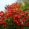 "December 4, 2014<br /> <br /> NANDINA BERRIES (aka ""Winter Berries"")<br /> <br /> ""Nandina domestica does have toxic potential, as the berries and leaves contain cyanogenic glycosides. Depending on the circumstances of exposure, this can cause vomiting, diarrhea, a lack of oxygen in the blood, decreased heart rate, respiratory congestion, seizures and coma. If large enough amounts are ingested, this could ultimately lead to respiratory failure and death. While most problematic ingestions involve large animals who graze on substantial quantities of the plant, we would still recommend not allowing your dog to chew on Nandina berries or leaves."" ~ Reprinted text from here: <br /> <br /> <a href=""http://www.aspca.org/about-us/faq/nandina-berries"">http://www.aspca.org/about-us/faq/nandina-berries</a>"