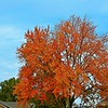 "November 13, 2014<br /> <br /> ""Delicious autumn! My very soul is wedded to it, and if I were a bird I would fly about the earth seeking the successive autumns."" ~ George Eliot<br /> <br /> This is the same tree that was photographed the same day, at the same general locale, as the previous two photos.<br /> <br /> (photo taken 11/13/2014)<br /> <br /> My Homepage:  <a href=""http://www.smugmug.Godschild.com"">http://www.smugmug.Godschild.com</a>"
