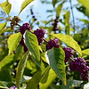 "September 2013<br /> <br /> ""CALLICARPA"" (aka ""beautyberry"")<br /> <br /> ""I think it pisses God off if you walk by the color purple in a field somewhere and don't notice it. People think pleasing God is all God cares about. But any fool living in the world can see it always trying to please us back."" ~ Alice Walker, The Color Purple<br /> <br /> Lichterman Nature Center<br /> Memphis, TN"