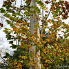 Eucalyptus Tree?<br /> <br /> Lichterman Nature Center<br />  Memphis, TN 38119