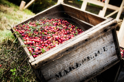 Dry Picked Cranberries