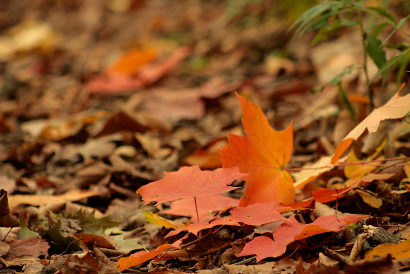 Fall leaves at Acres Land Trust (Ralph F. Gates Nature Preserve)