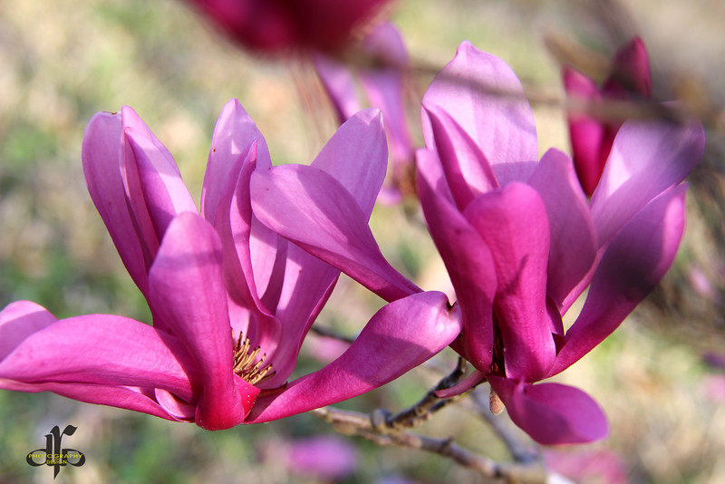 Tulip Shrub Blossoms