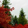 """Autumn Reds Among the Evergreens"""