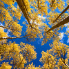 Aspen Canopy ~ Colorado Scenic Byway Guanella Pass (Elevation 11,669 ft), CO