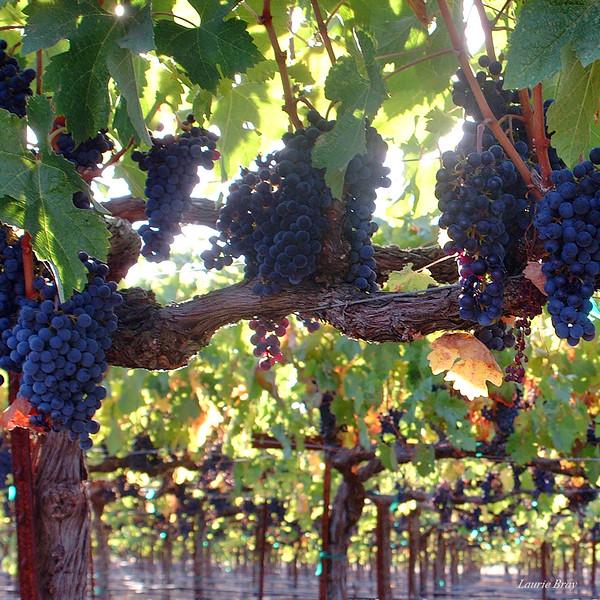 Vineyard C