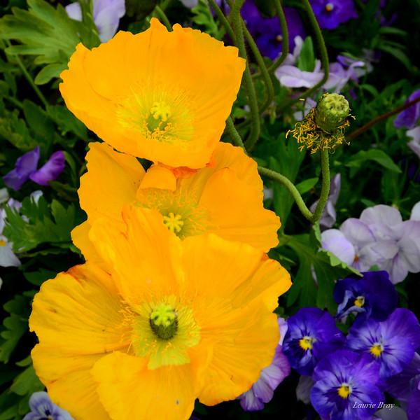 Poppies C