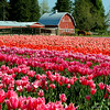 tulips and barn C