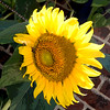 Sunflower 8048 C