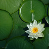 Lilly pad and flower C