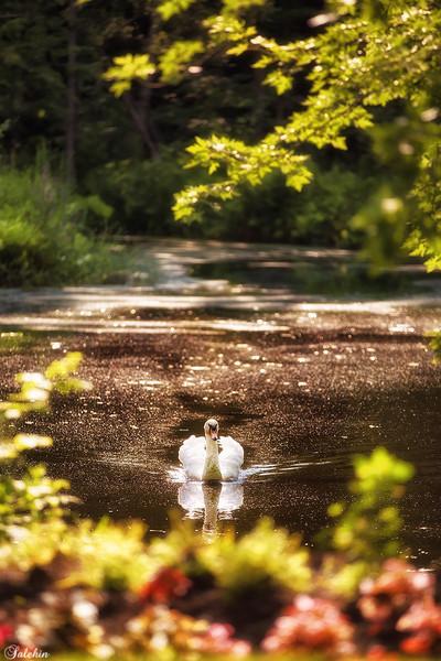 Swamp 'n Swan