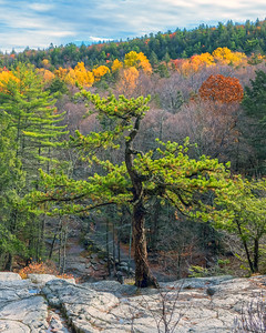 Bedrock Pine