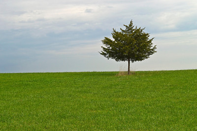 """One Tree""  A single pine tree in a field of bright green grass contrasted against an overcast sky."