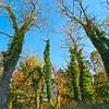 Towering Ivy