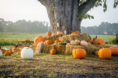 Pumpkins Under the Tree