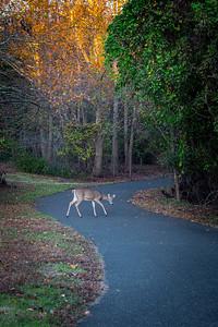 Autumn Deer on Path