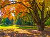 Autumn Shade Tree