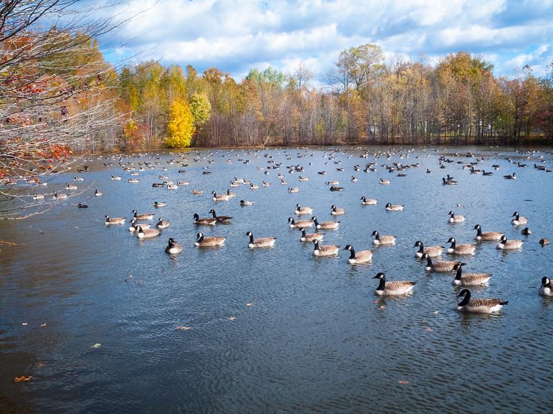So Many Ducks