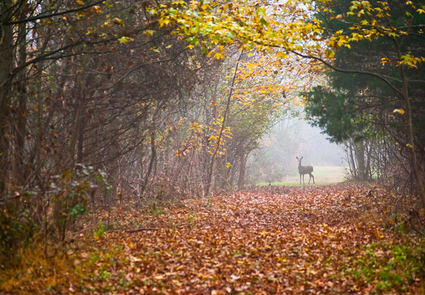 """Deer Path"" A deer on the path surrounded by Autumn colors in Thompson Grove Park in Manalapan, New Jersey."