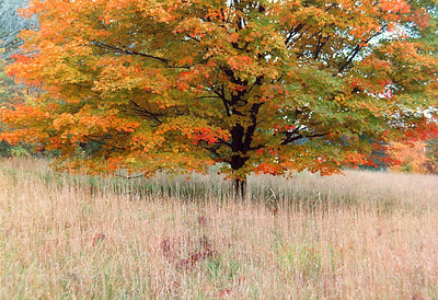 """""""Maple, Tall Grass""""  A colorful Autumn maple tree photographed in Sussex County, New Jersey in the 1980s."""
